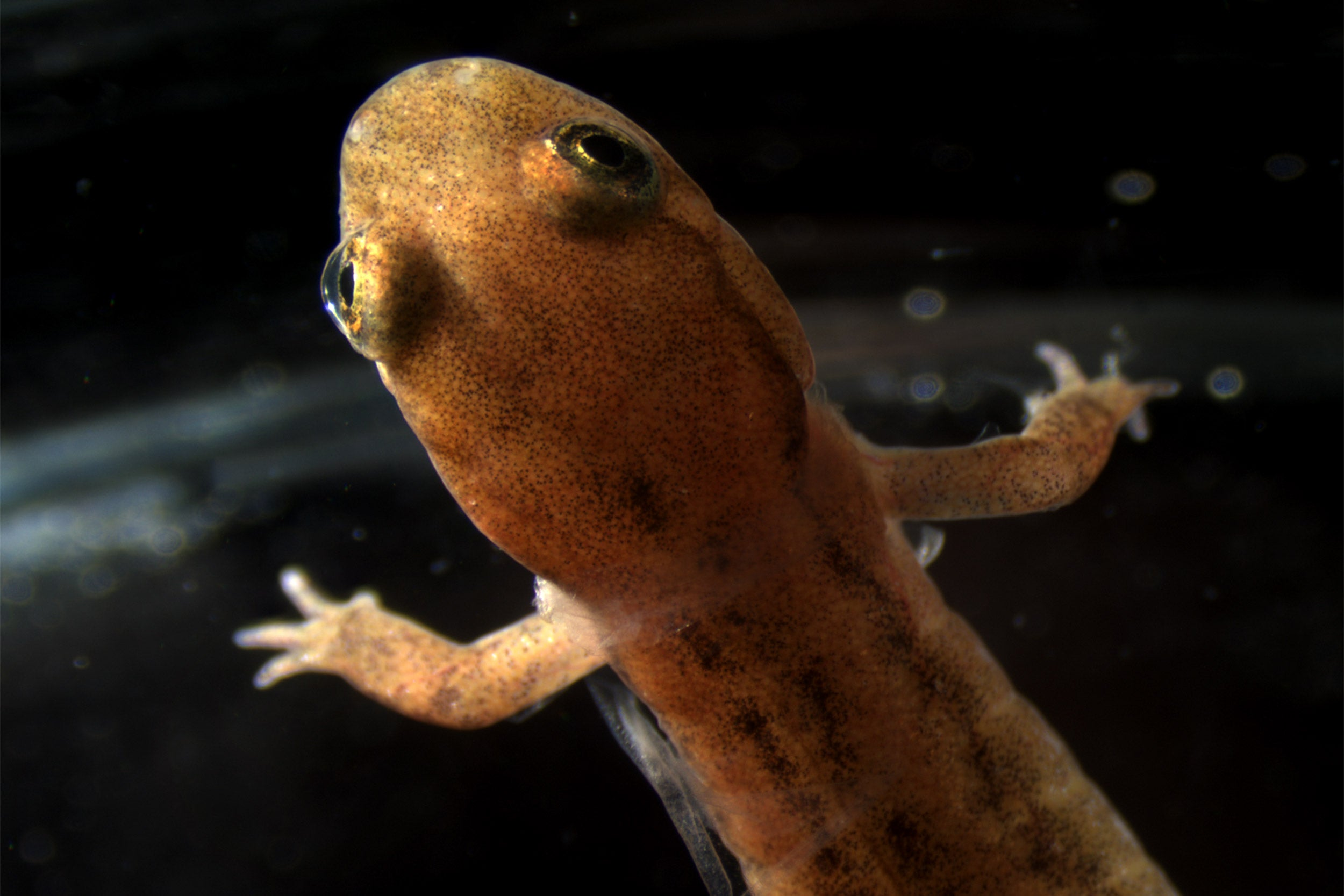 Desmognathus fuscus. That is one of the lungless salamanders featured in the study