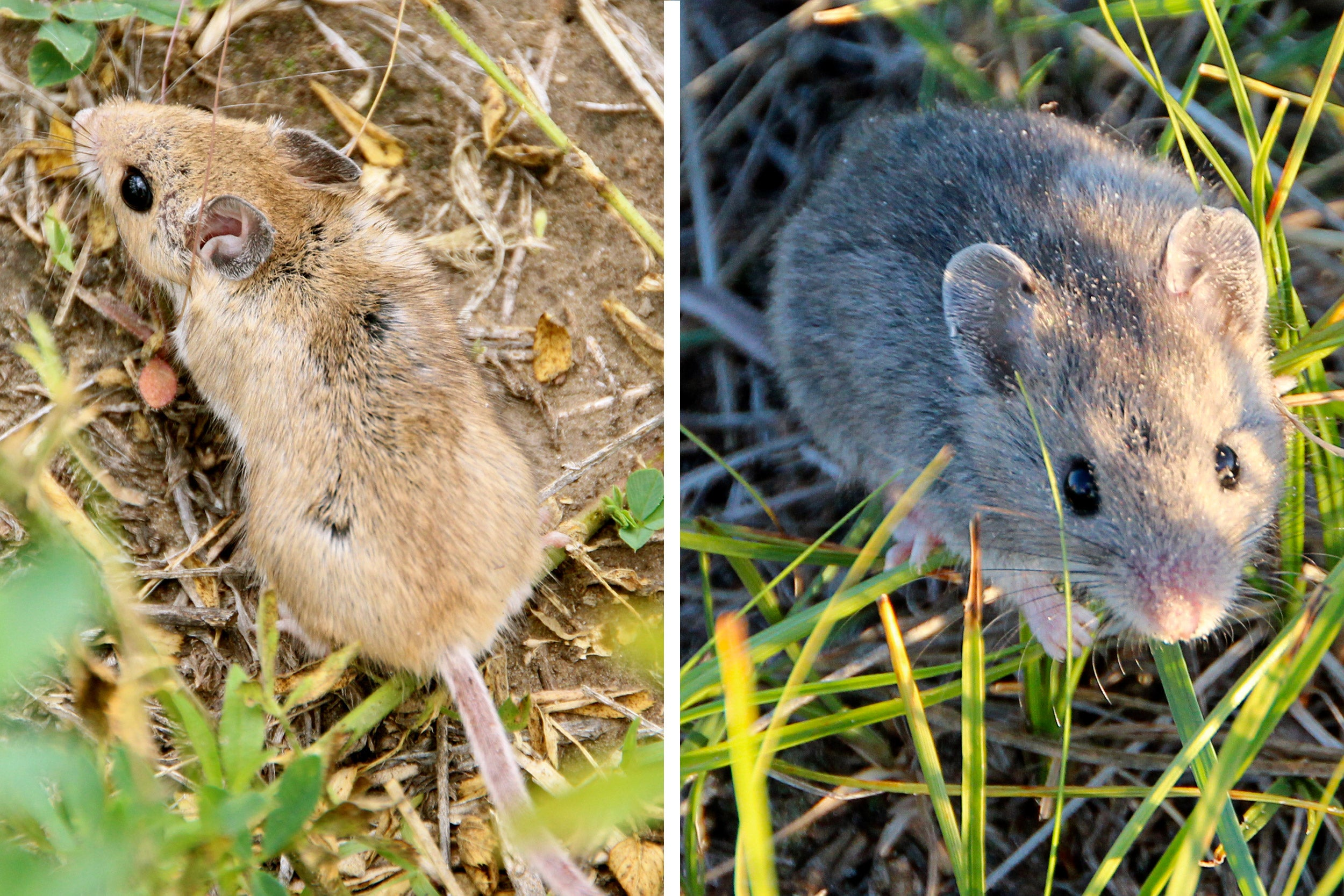 A new study led by Harvard Professor Hopi Hoekstra not only showed differences between how light- and dark-colored mice survived in light- and dark-colored habitats, but also chalked up part of those differences to a mutation that affects pigment, and explored exactly how the mutation produced a novel coat color.