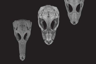CT scans of crocodile skulls.