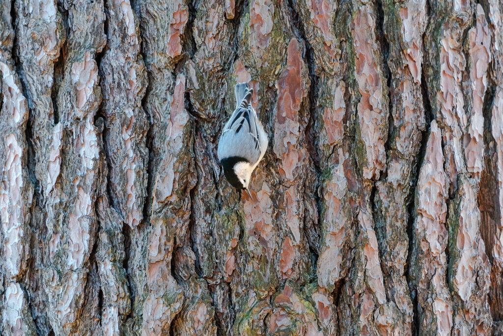 Bird on tree bark.