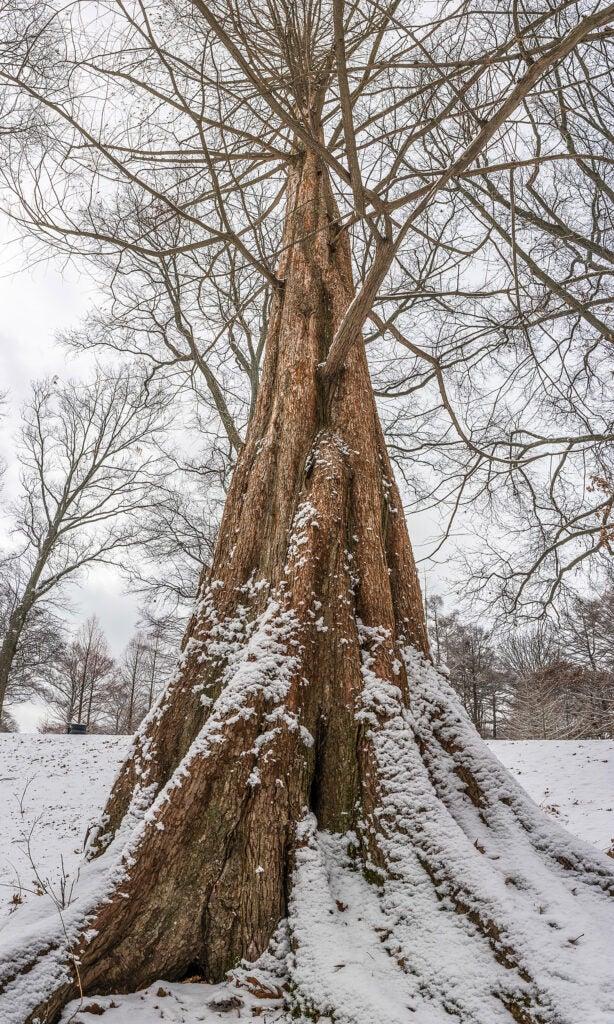 Dawn redwood in winter.