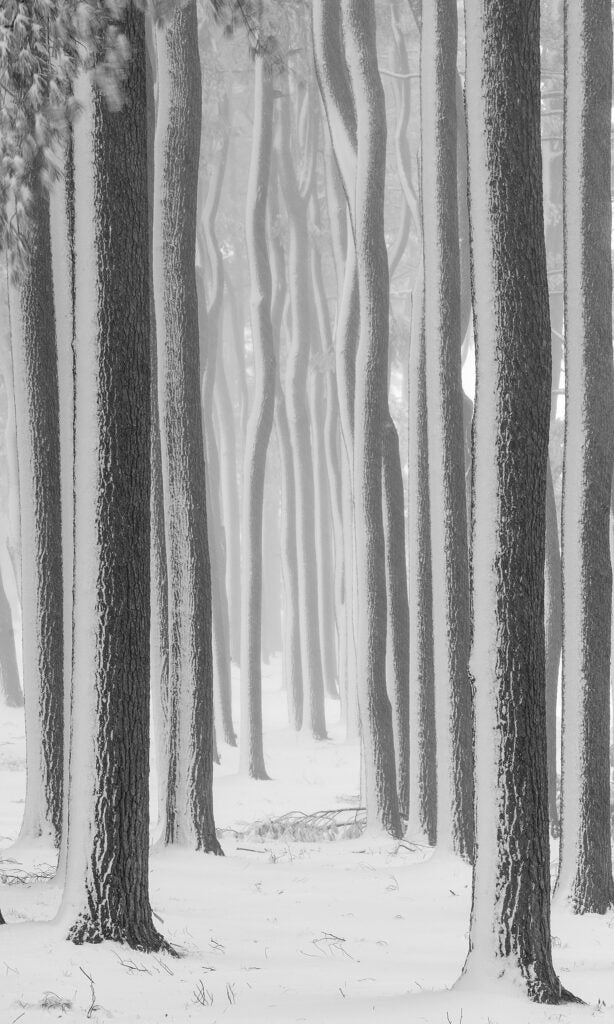 Eastern white pines during blizzard.