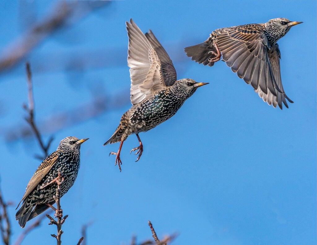 European starling in flight.