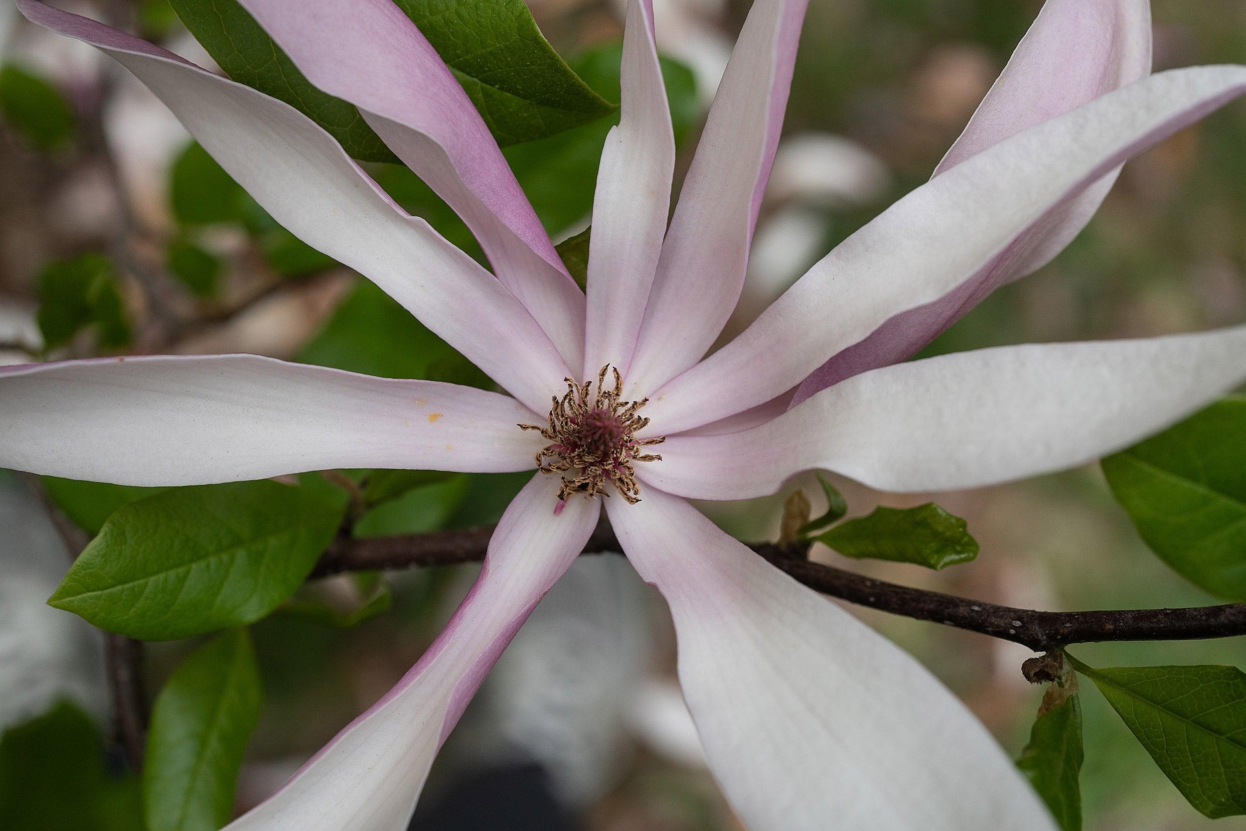Judy magnolia.