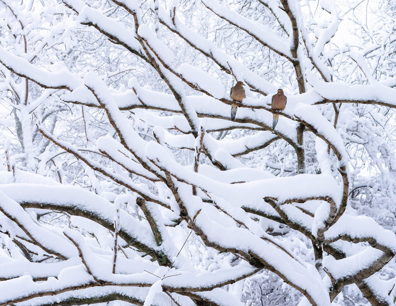 Mourning doves in snowy branches.