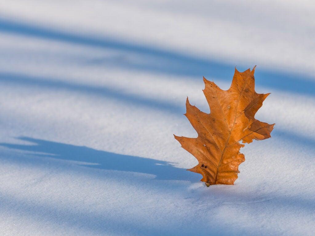 Oak leaf on snow.