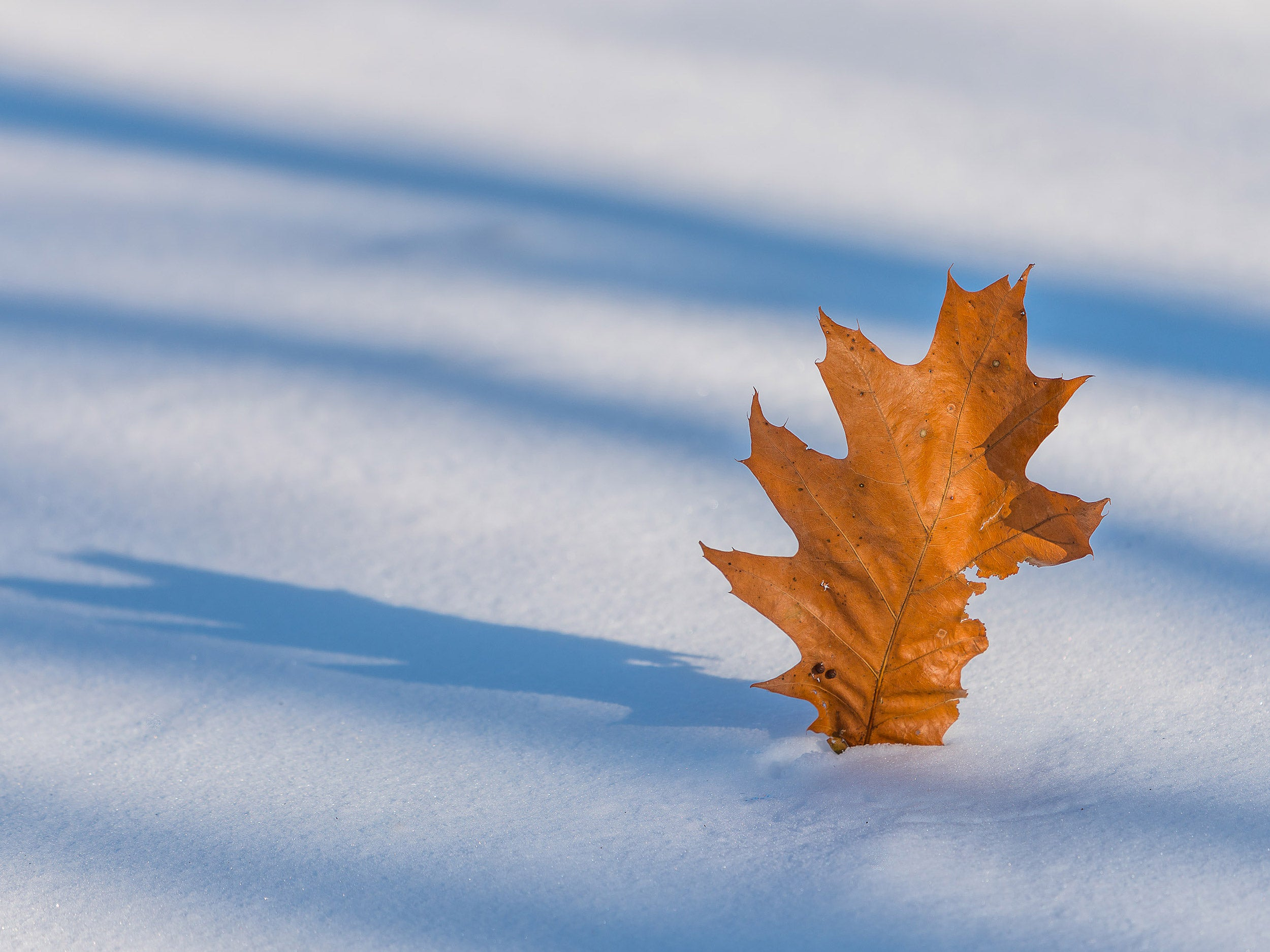 Oak leaf on snow.