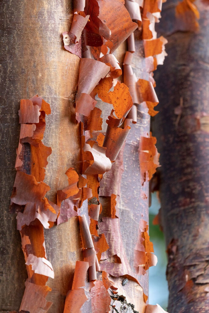 Paper bark on a maple tree.