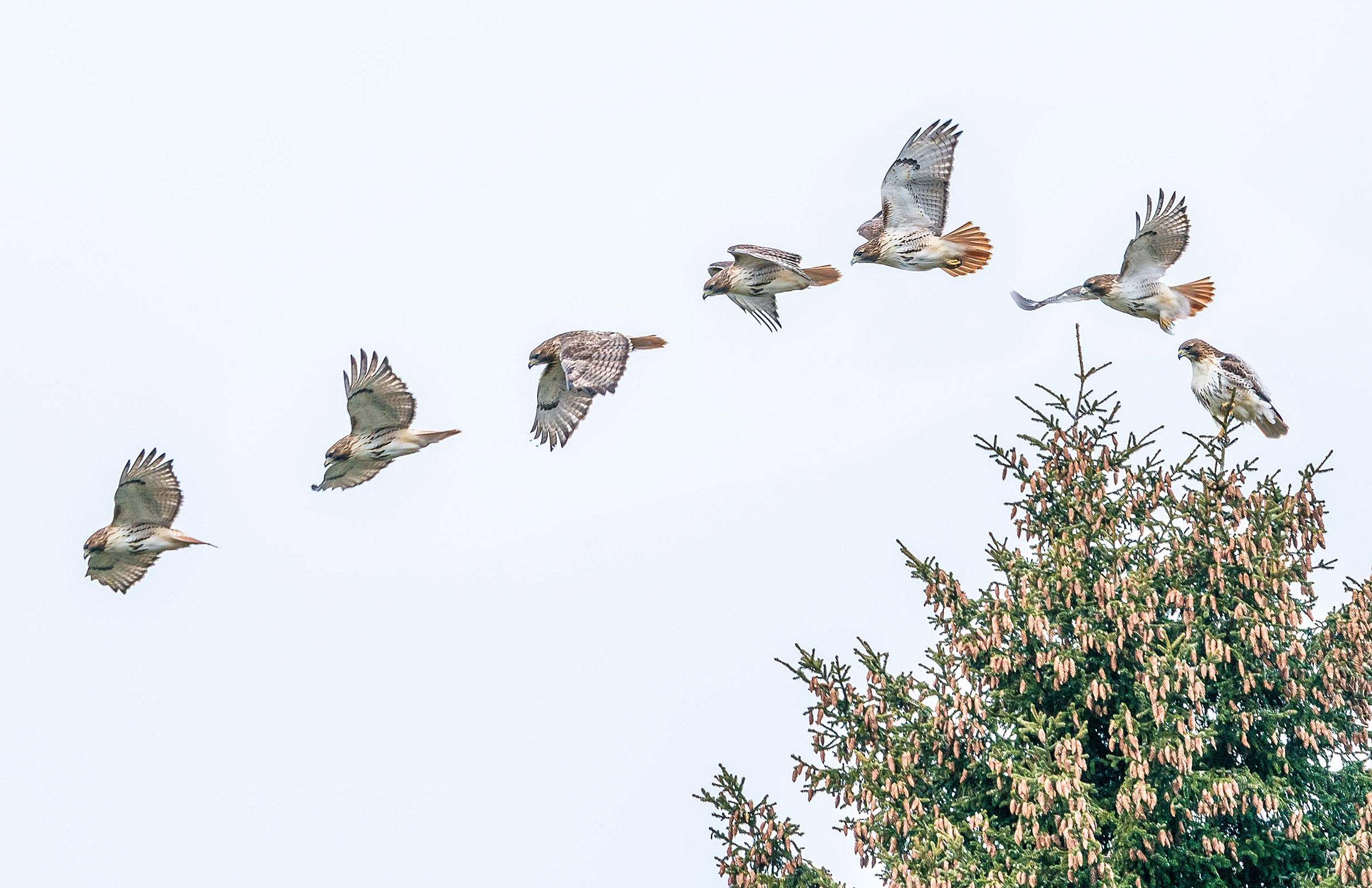 Red-tailed hawks on Norway spruce.