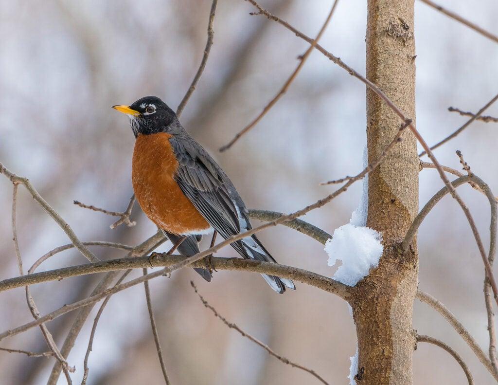 Robin at spring thaw.