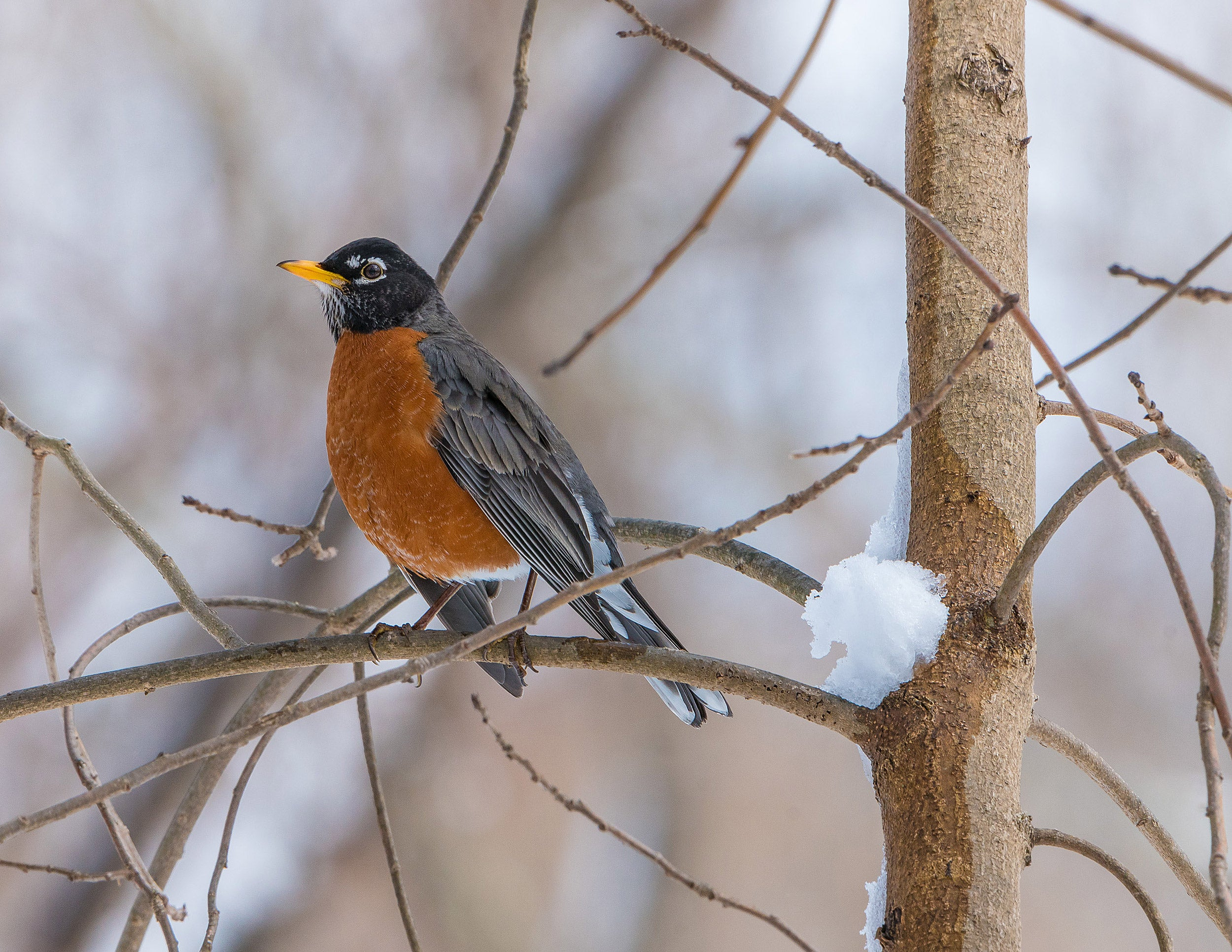Robin at spring thaw.