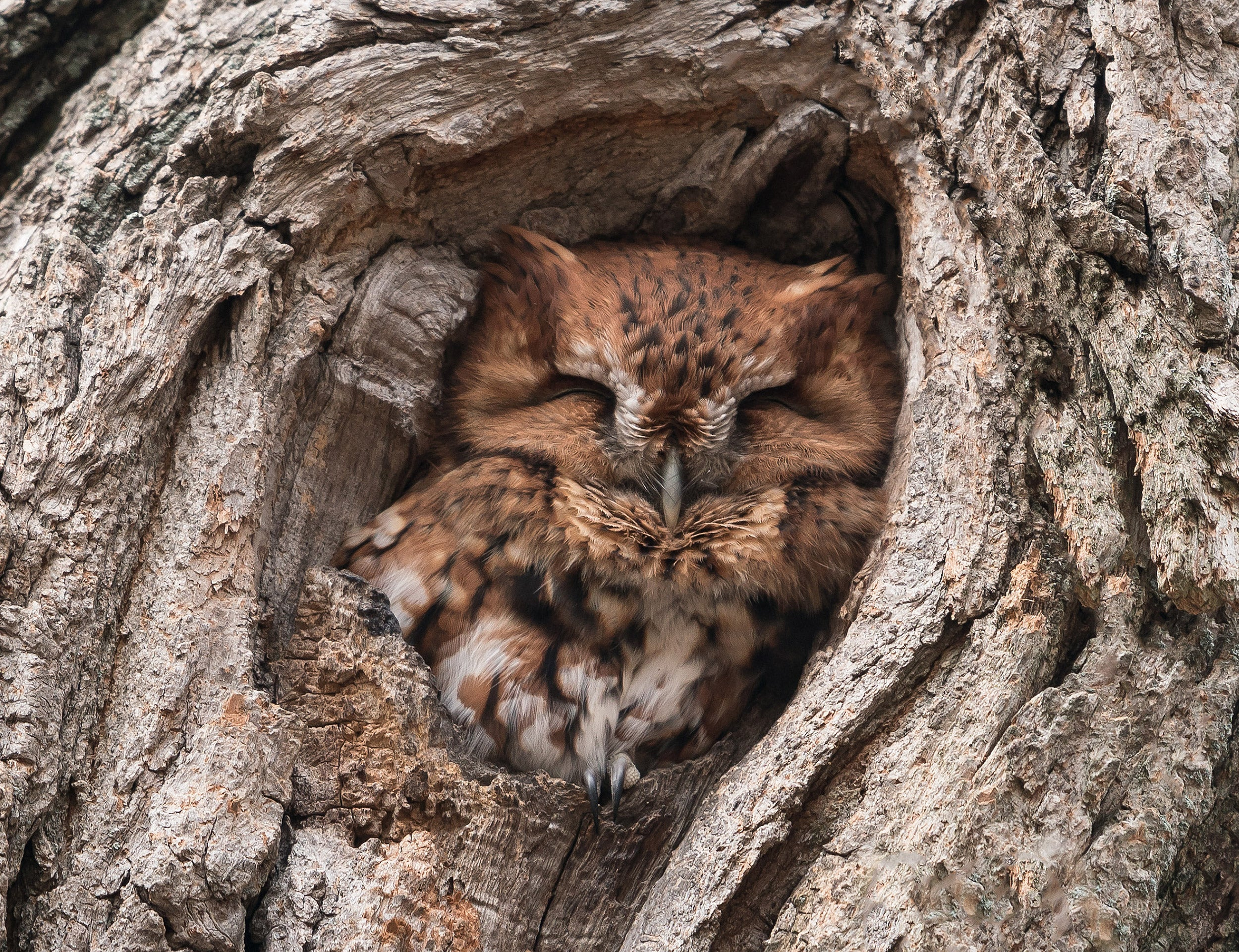 Screech owl nestled in tree.