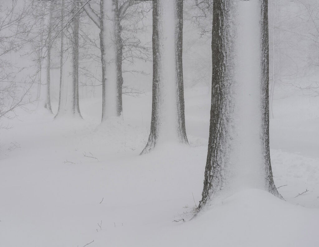 Line of trees during blizzard.
