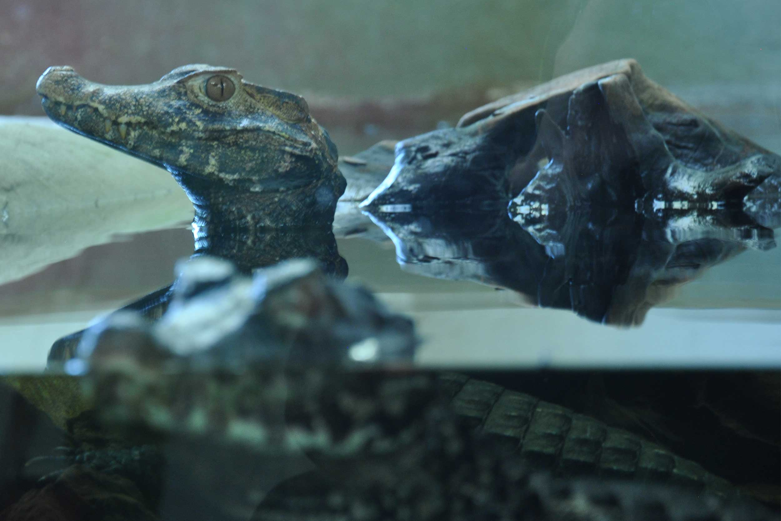 Photo of Cuvier's dwarf caiman