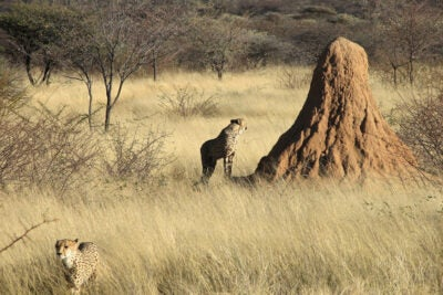 Researchers investigate how termites can build complex, long-standing, meter-sized structures all over the world. This termite mound is located in Namibia.