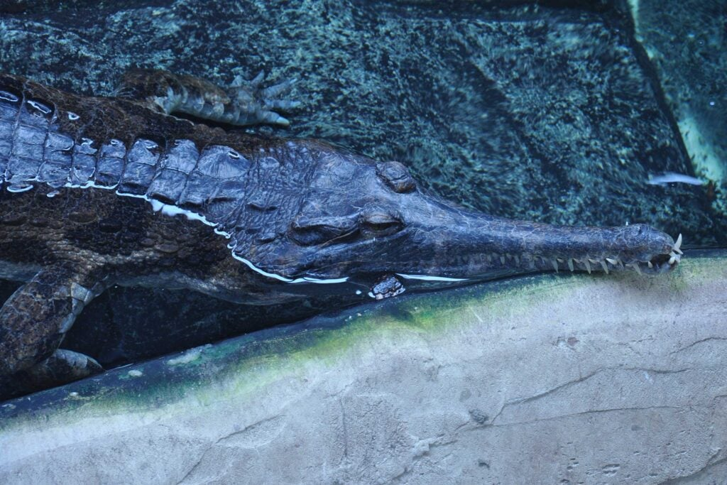 False Gharial (Tomistoma schlegelii) taken at Crocodiles of the World