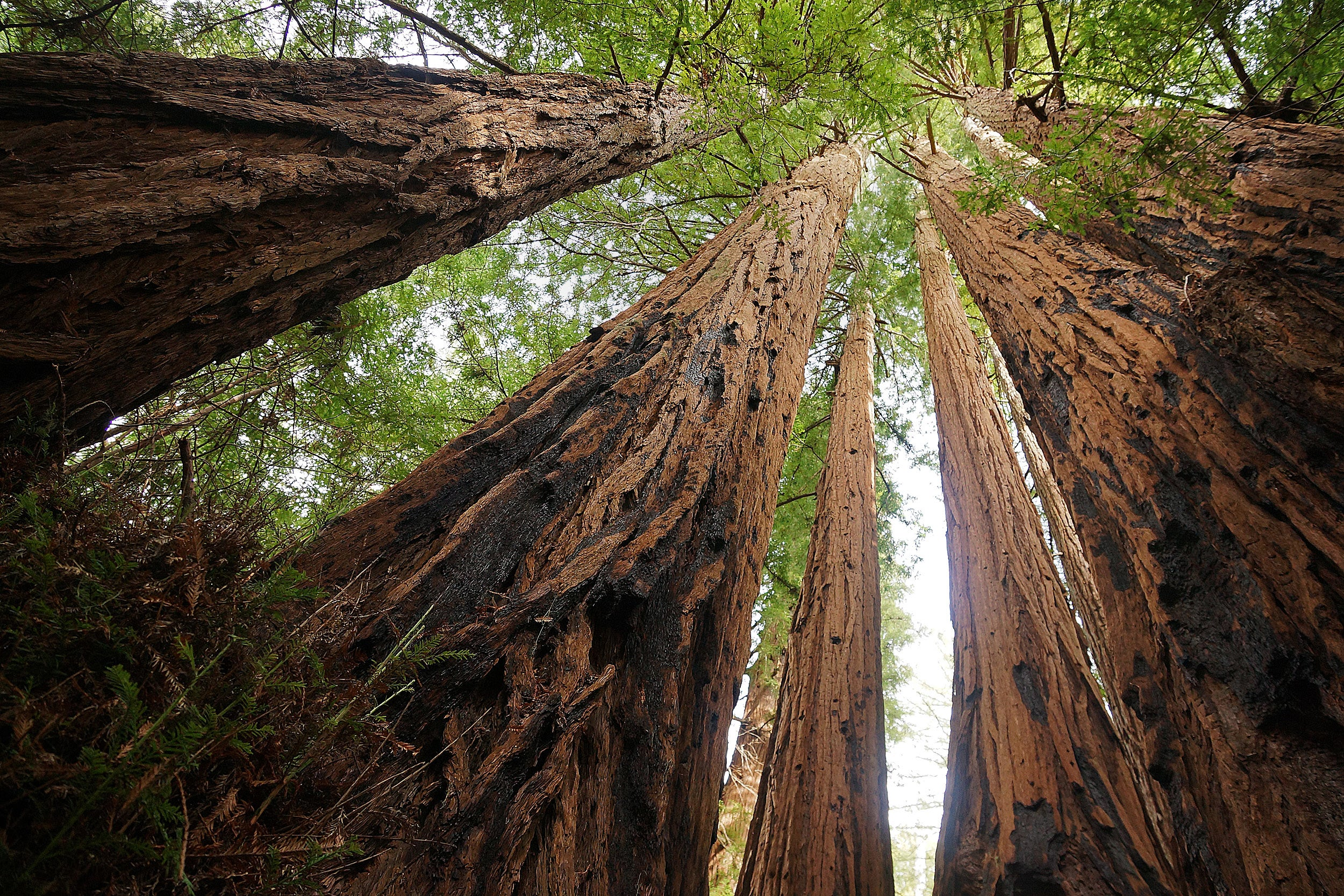 Redwoods can grow more than 300 feet tall and can live for more than 1,000 years.