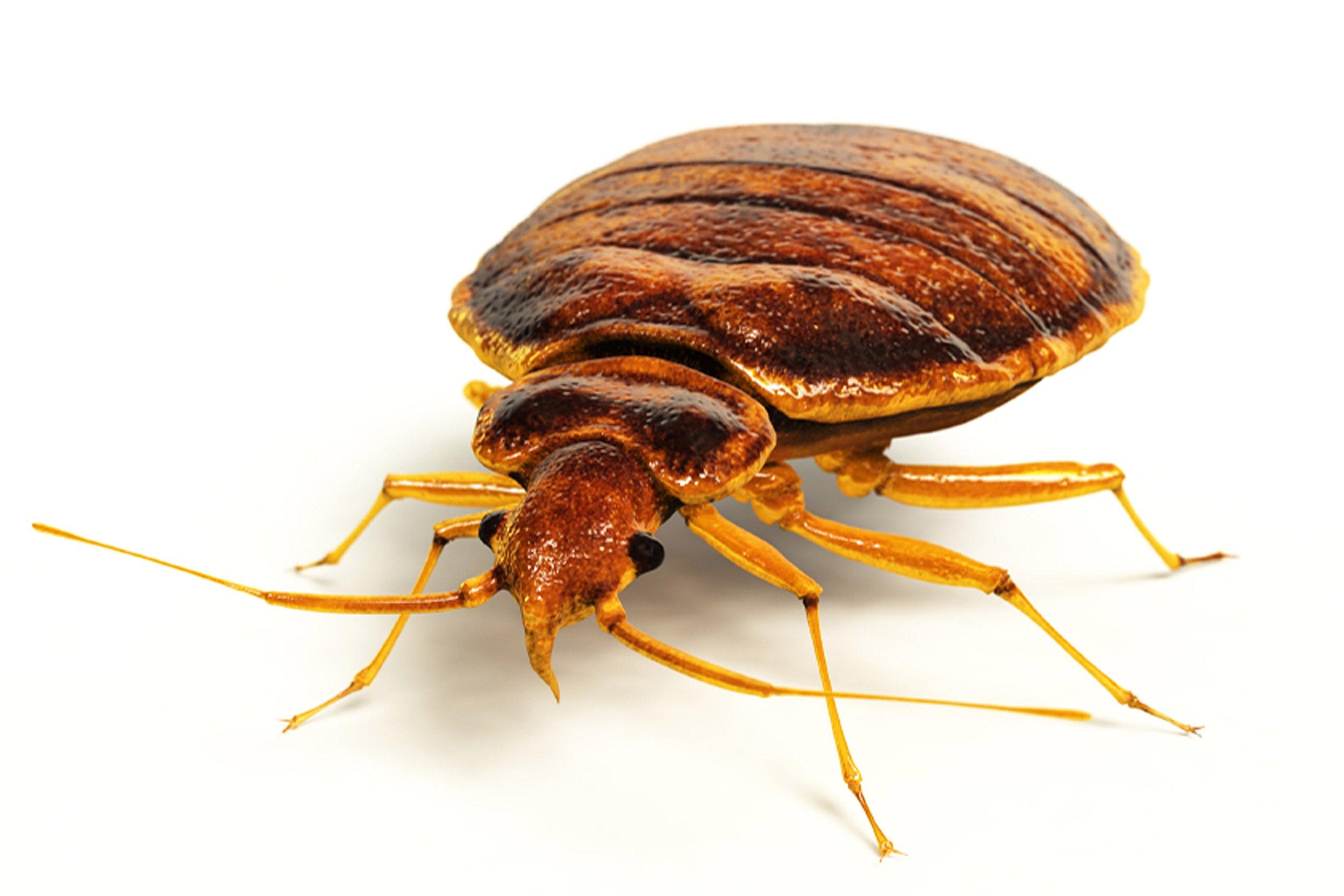 A bedbug.