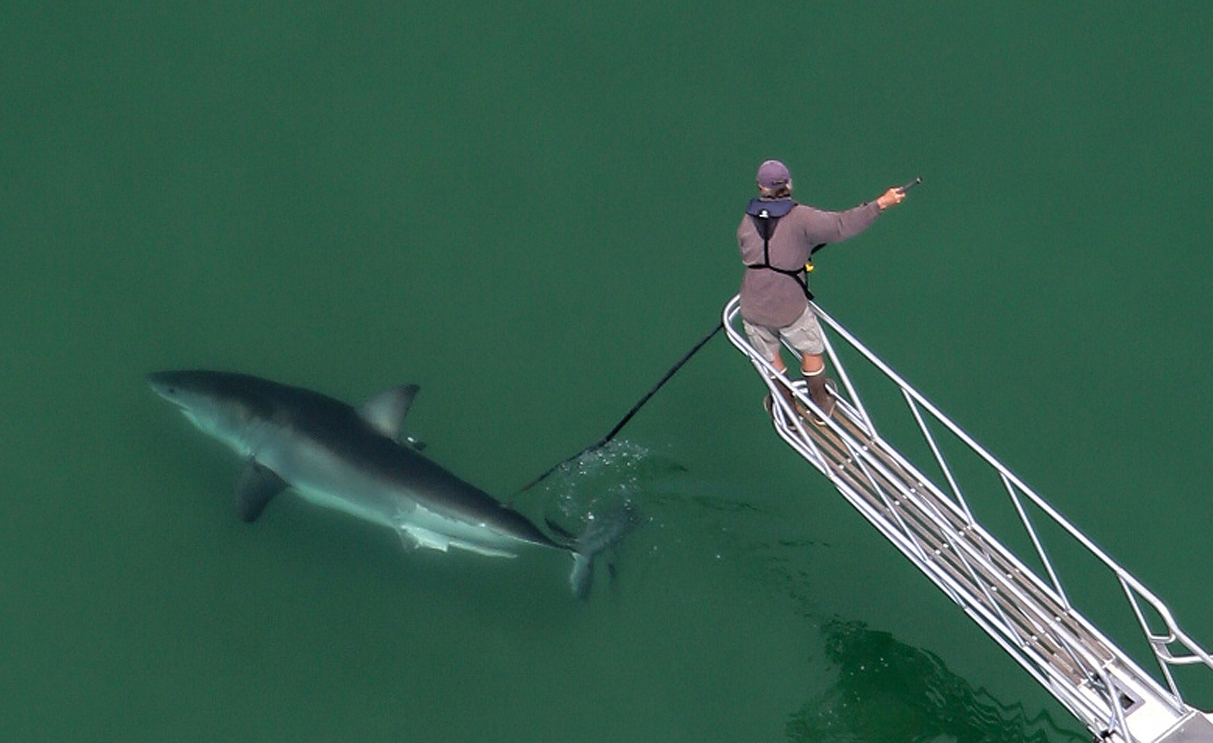Greg Skomal tags a great white shark in the waters off Cape Cod.