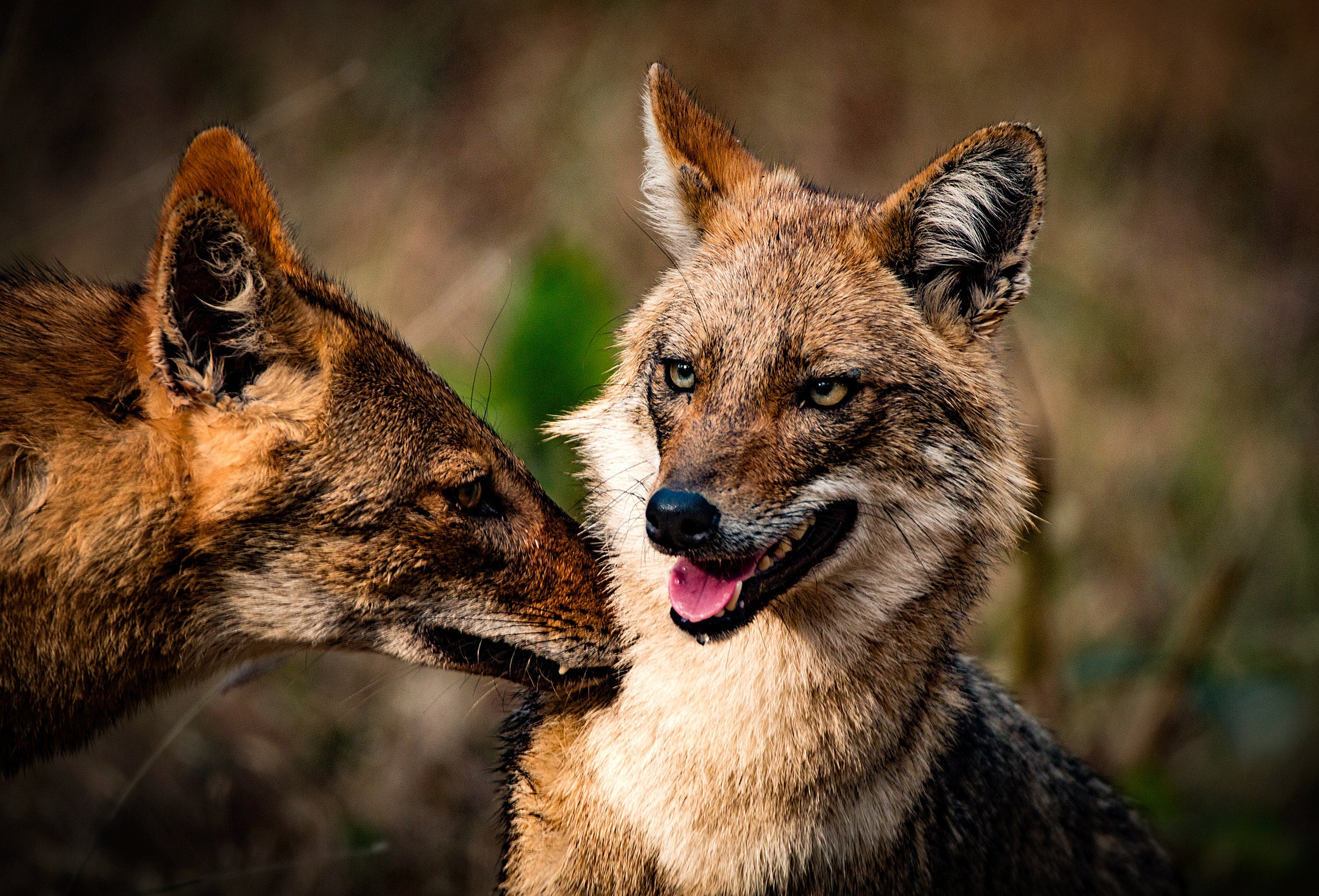 Why jackals thrive where humans dominate