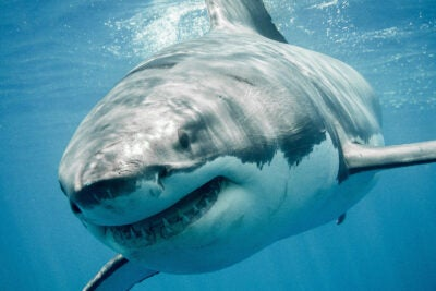 Great white shark.