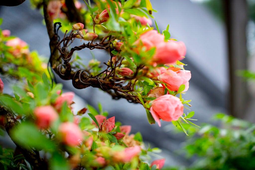 Blossoms on a bonsai tree