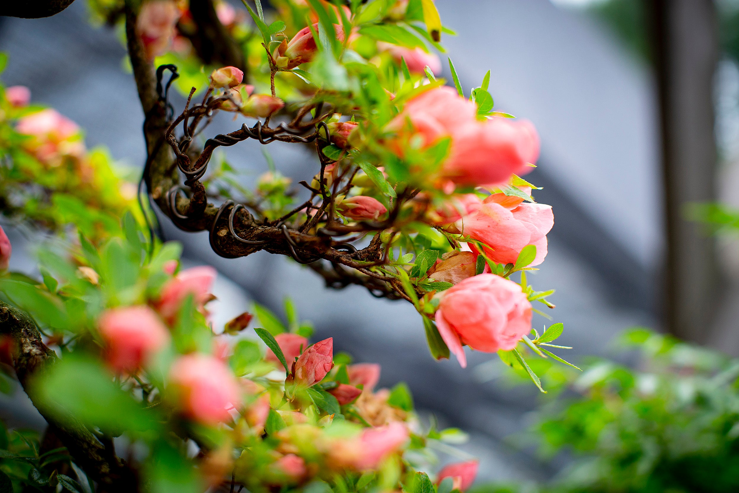 Blossoms on a bonsai tree