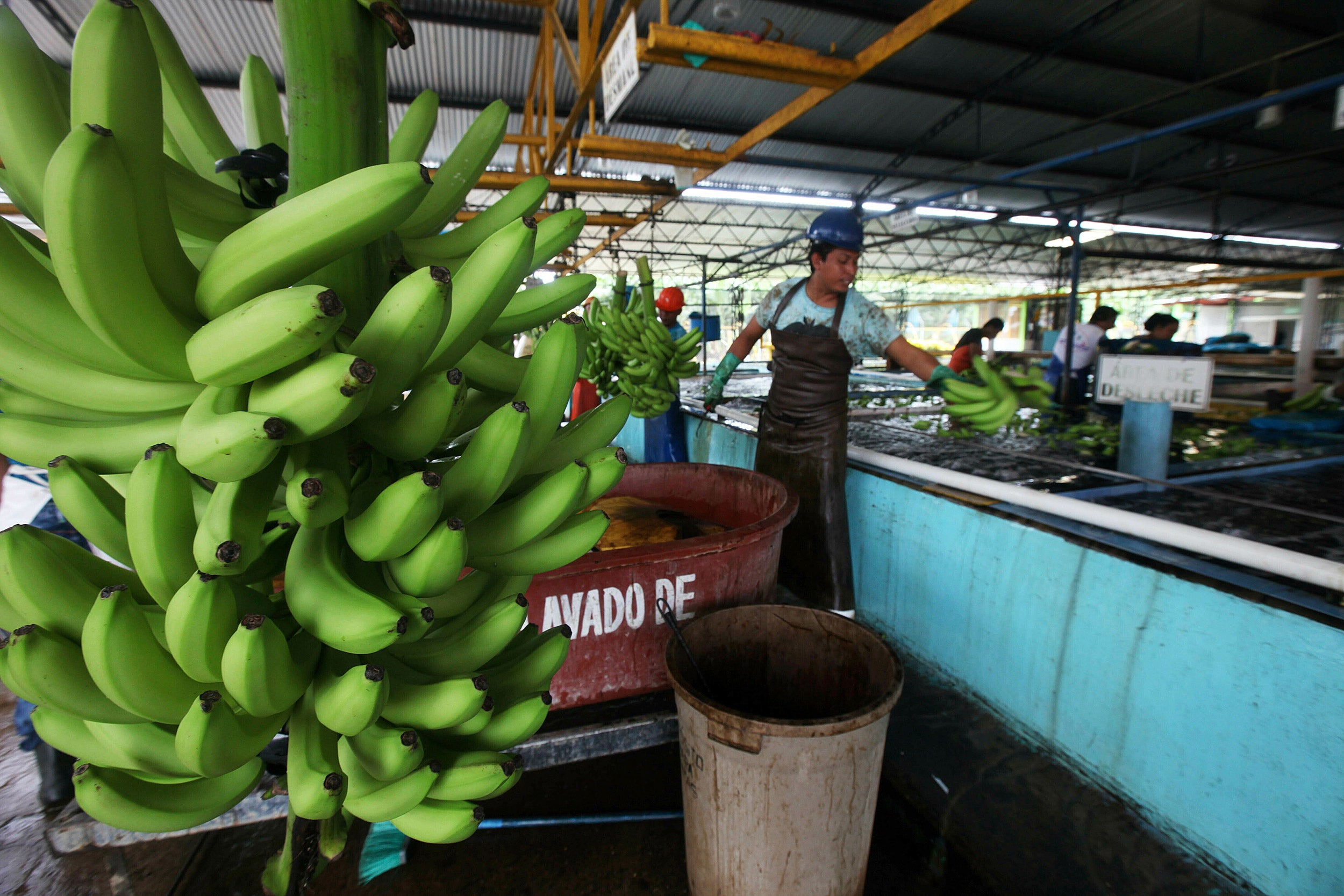 Workers sort freshly harvested bananas to be exported, at a farm in Ciudad Hidalgo, Chiapas state, Mexico.
