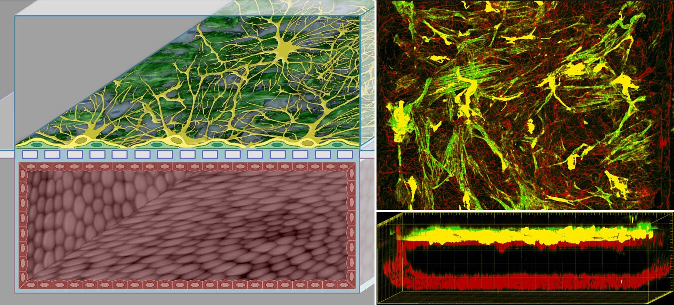 Close up image of the blood brain barrier process