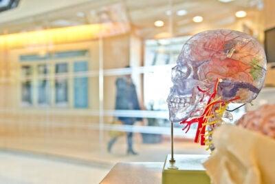 A transparent plastic model of a human skull