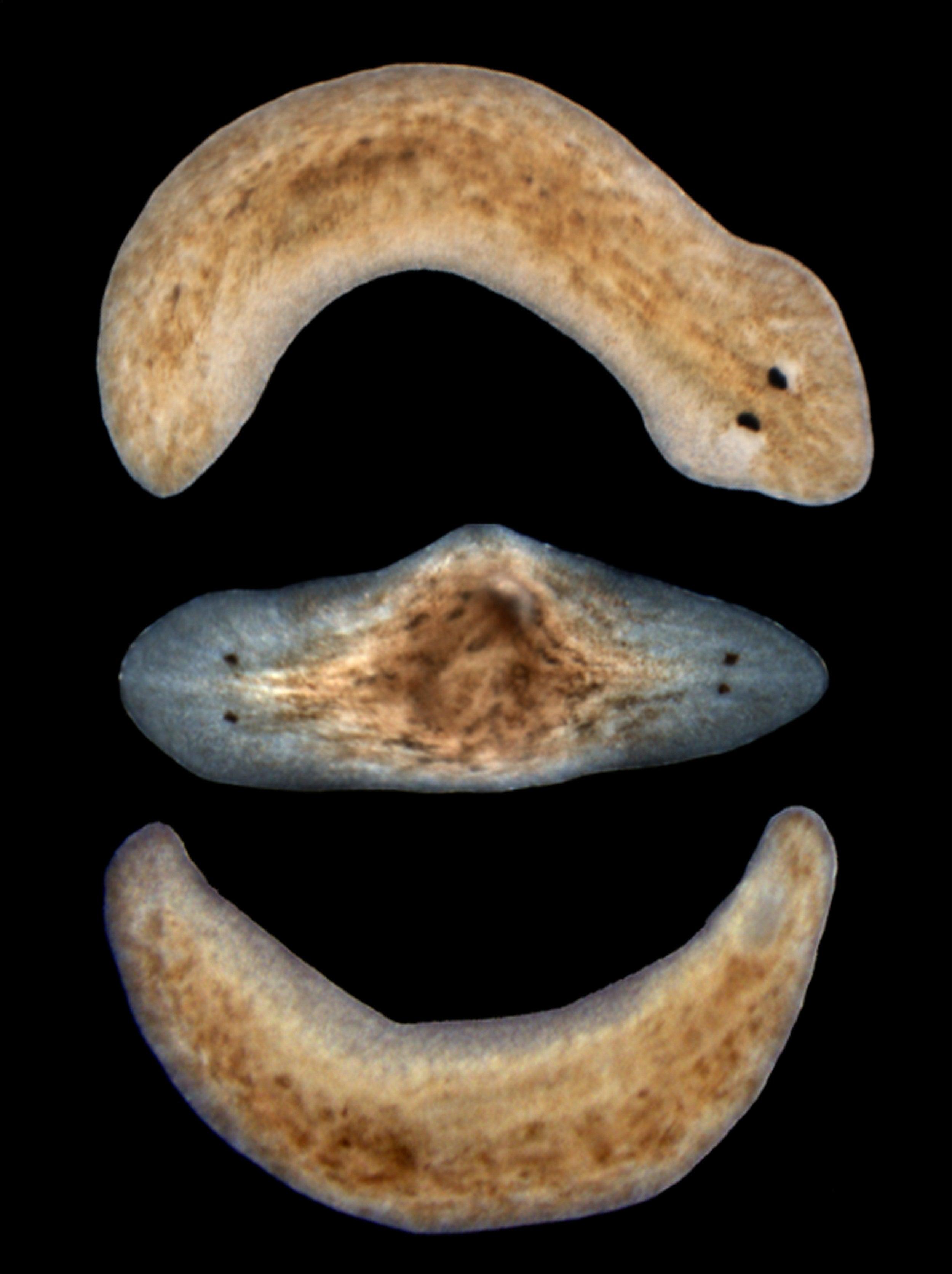 Planaria flatworms