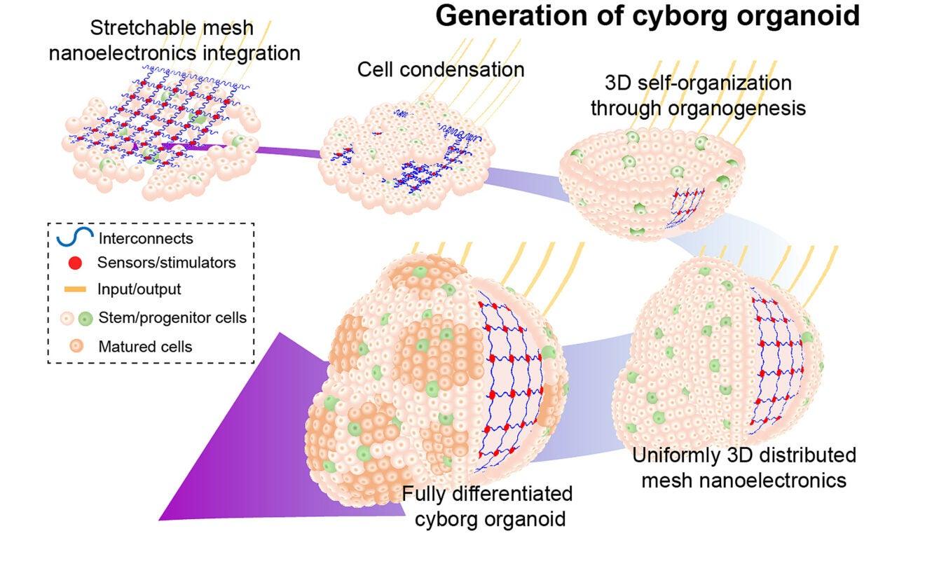 Generation of cyborg organoids, illustrated.