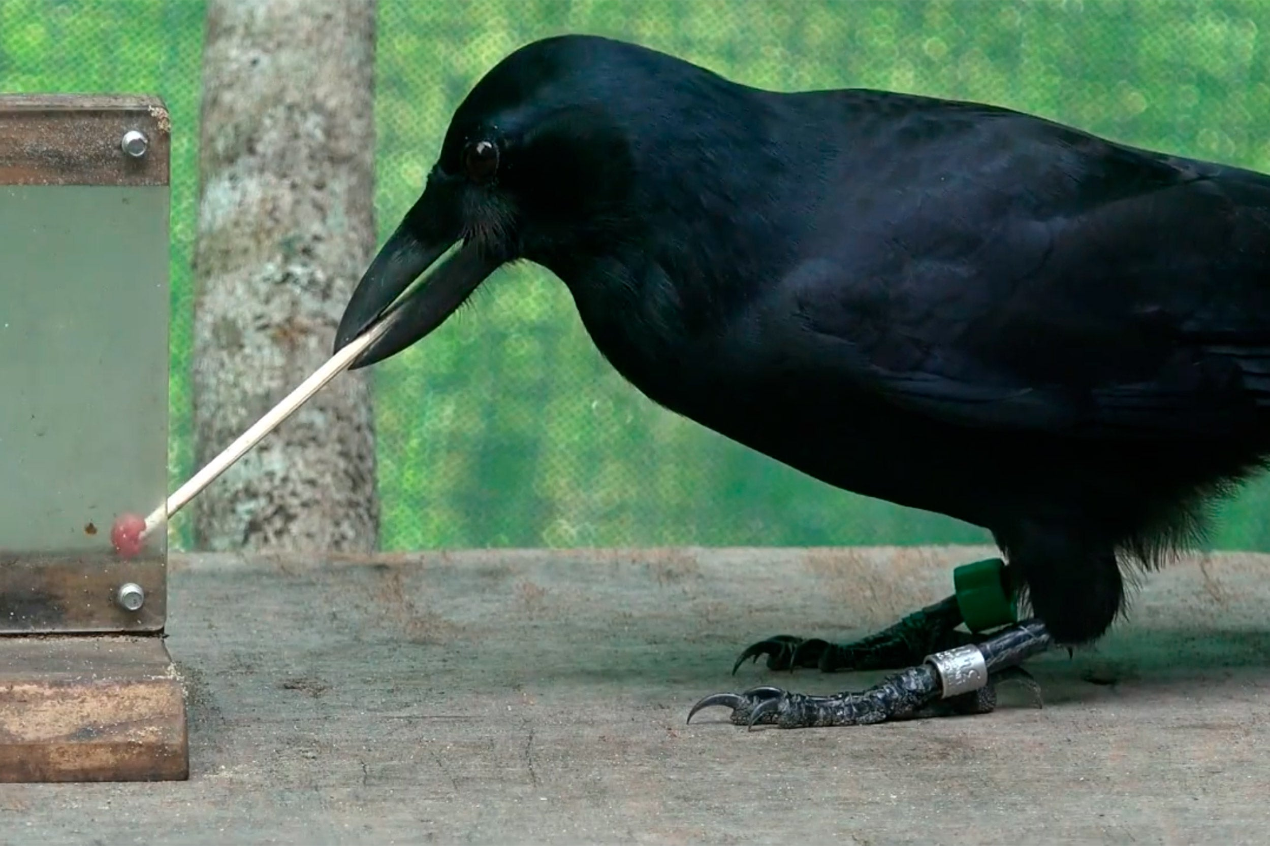 Crow with tool