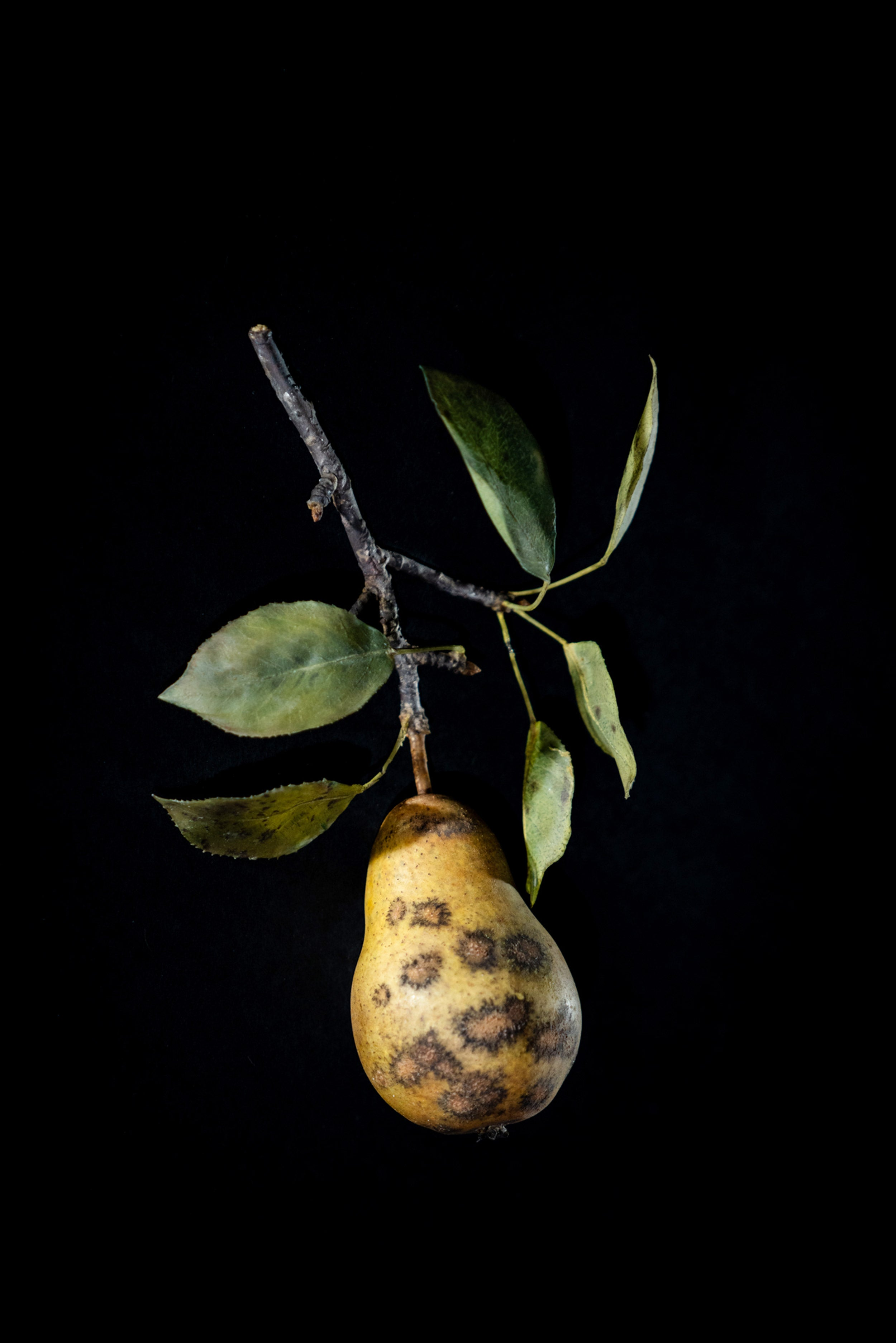 Glass fruit decaying pear