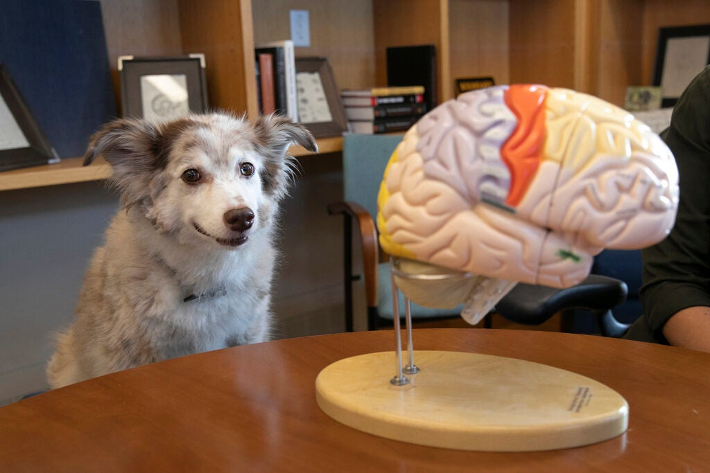 dog looking at model of brain