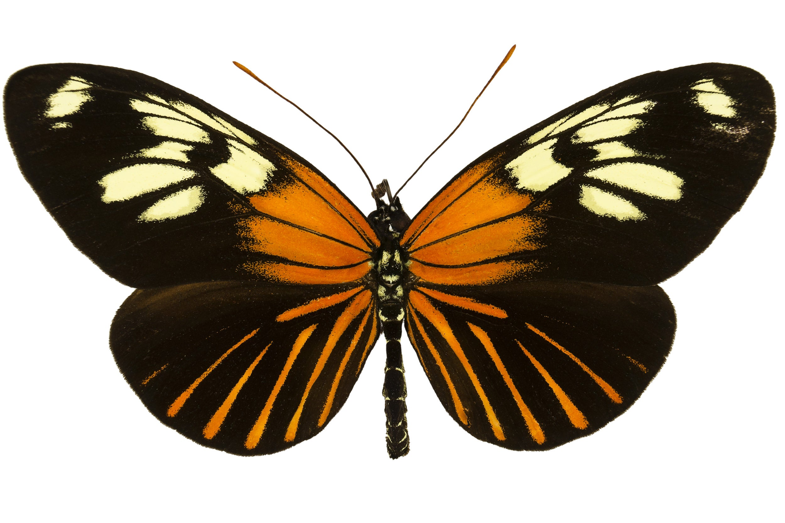 Heliconius xanthocles butterfly illustration with wings spread.