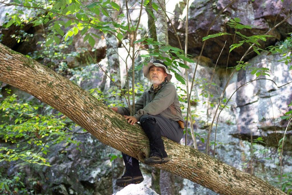 Kang Wang perches on an ash tree limb.