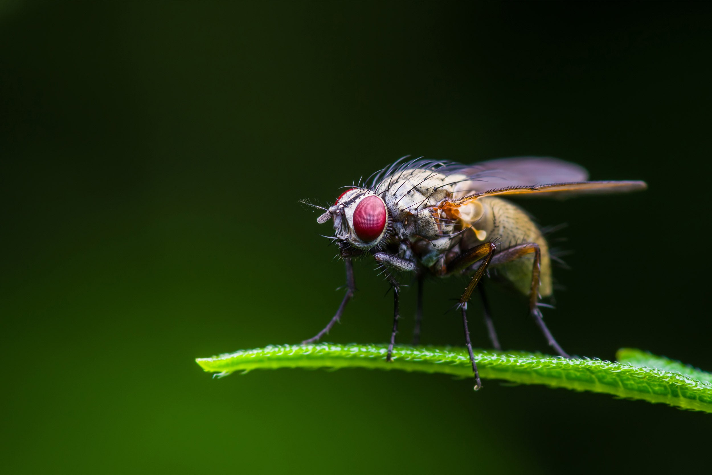 Fruit fly up close.