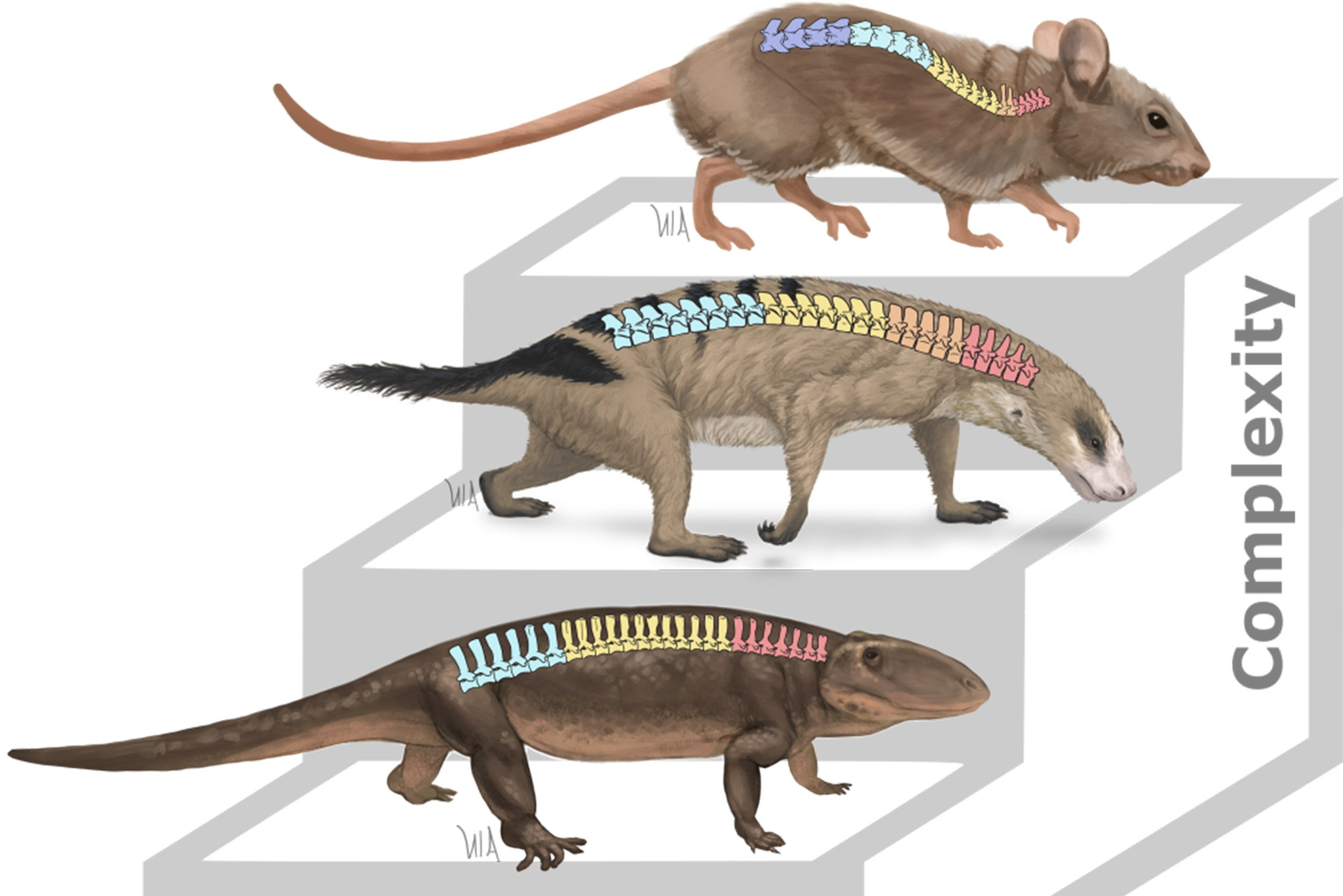 Graphic of spines in mammals.