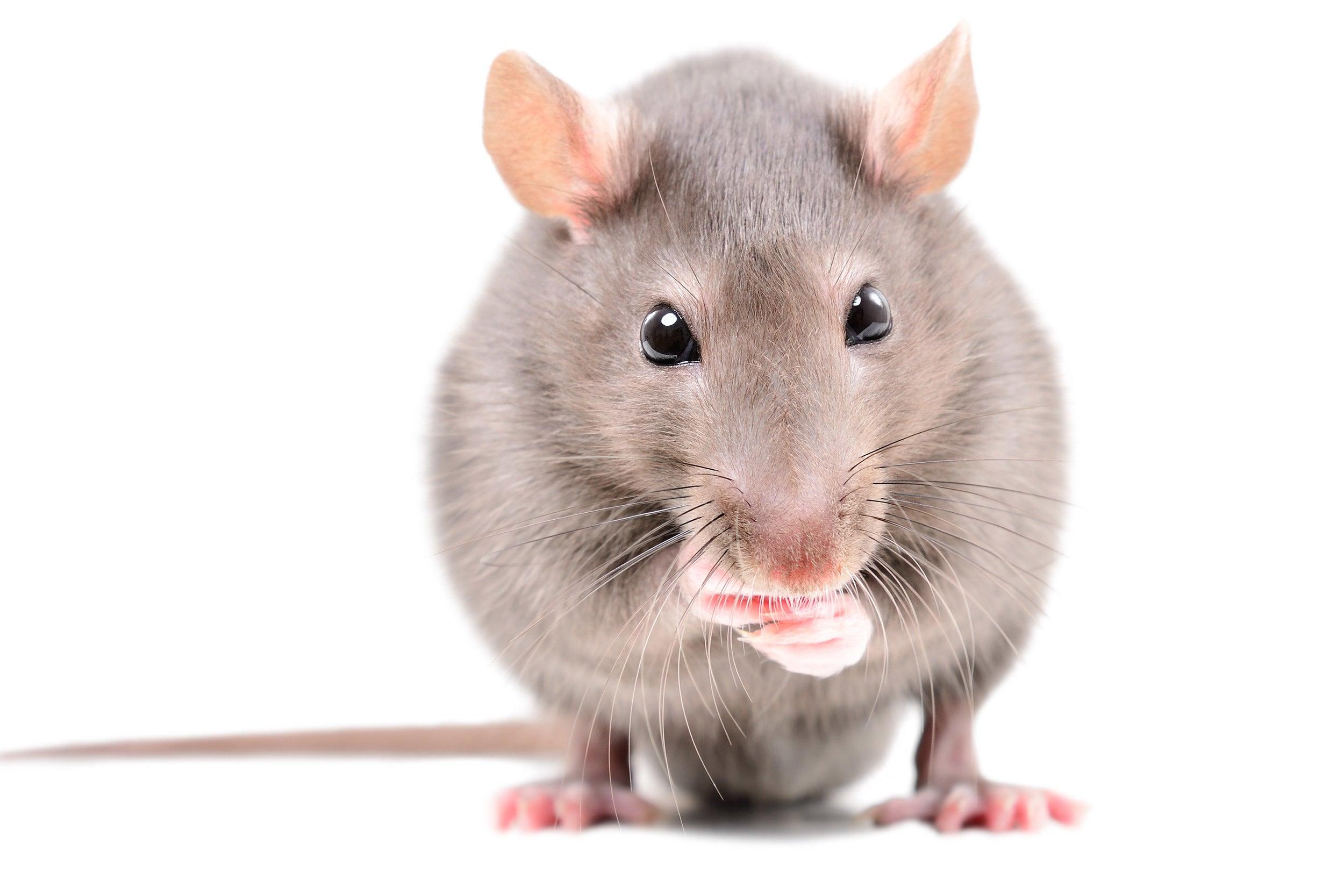 Portrait of a rat.