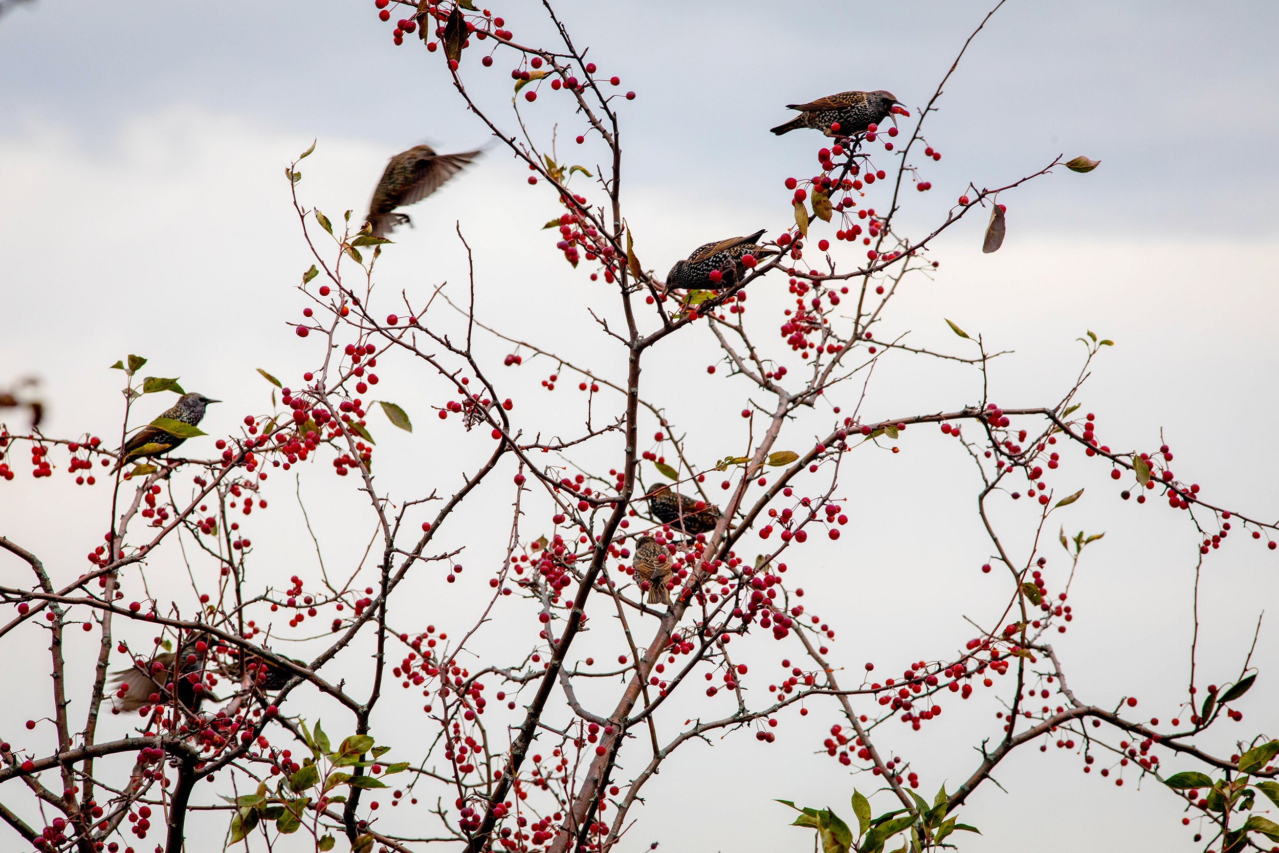 Birds compete for fruits in a tree on Peters Hill.