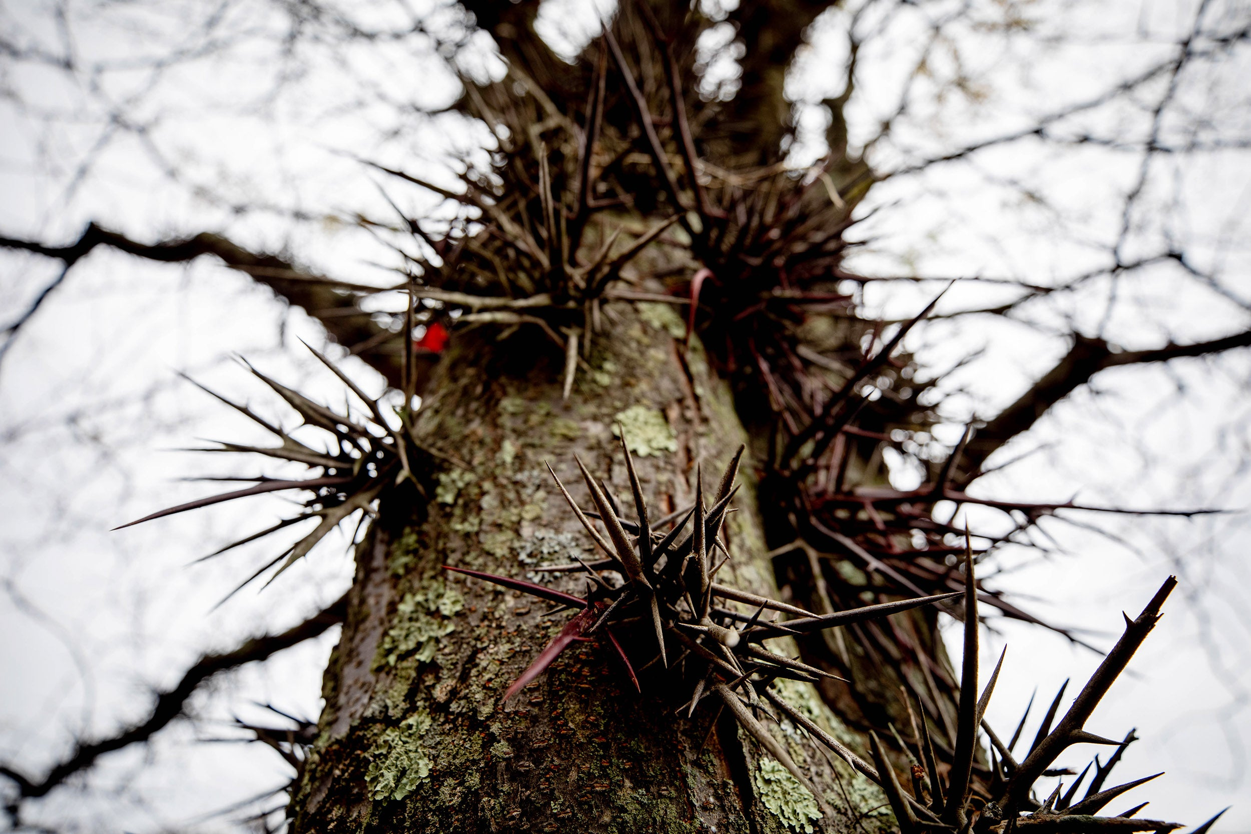 Thorns grow from a honey locust tree.