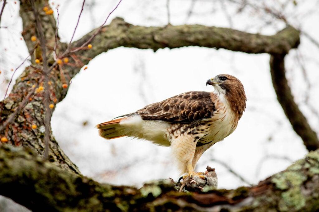 A hawk guards its prey.