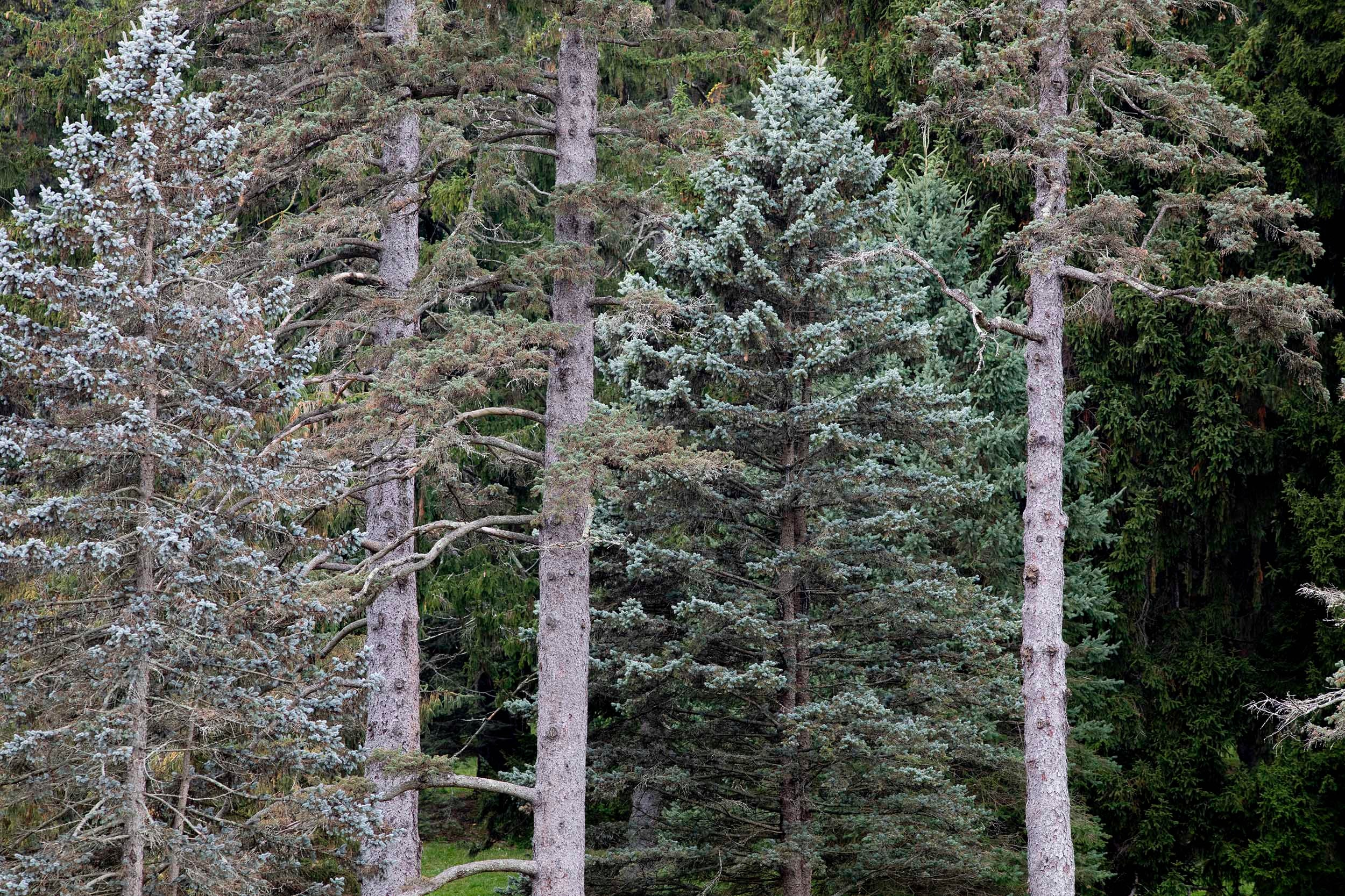Enormous fir and spruce trees stand in the Conifer Collection