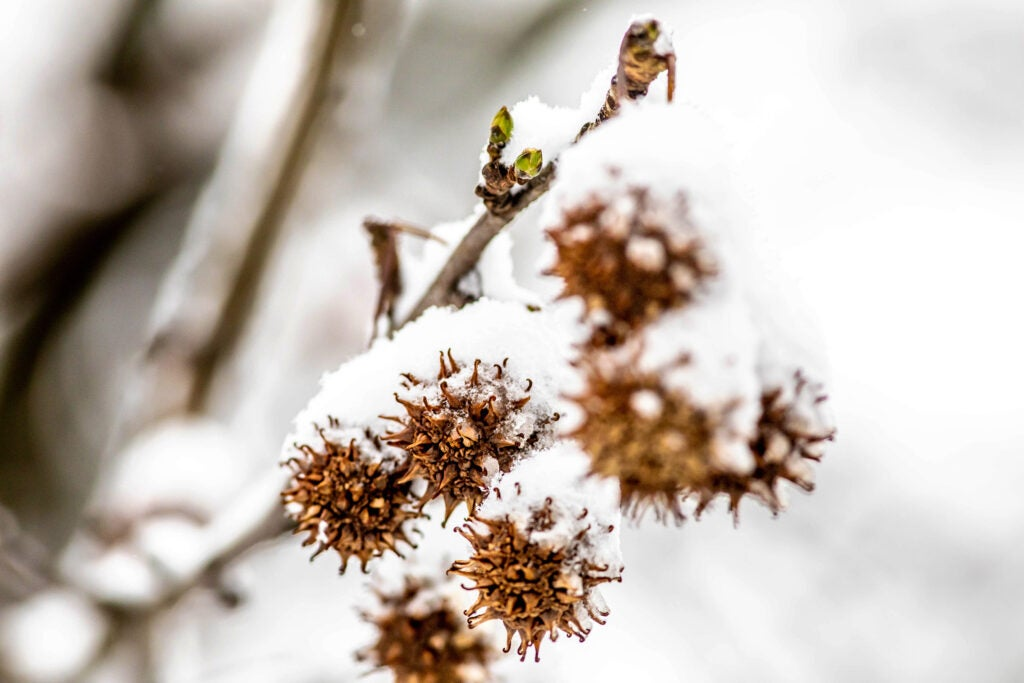 Snow lands on the fruits of a sweetgum tree.