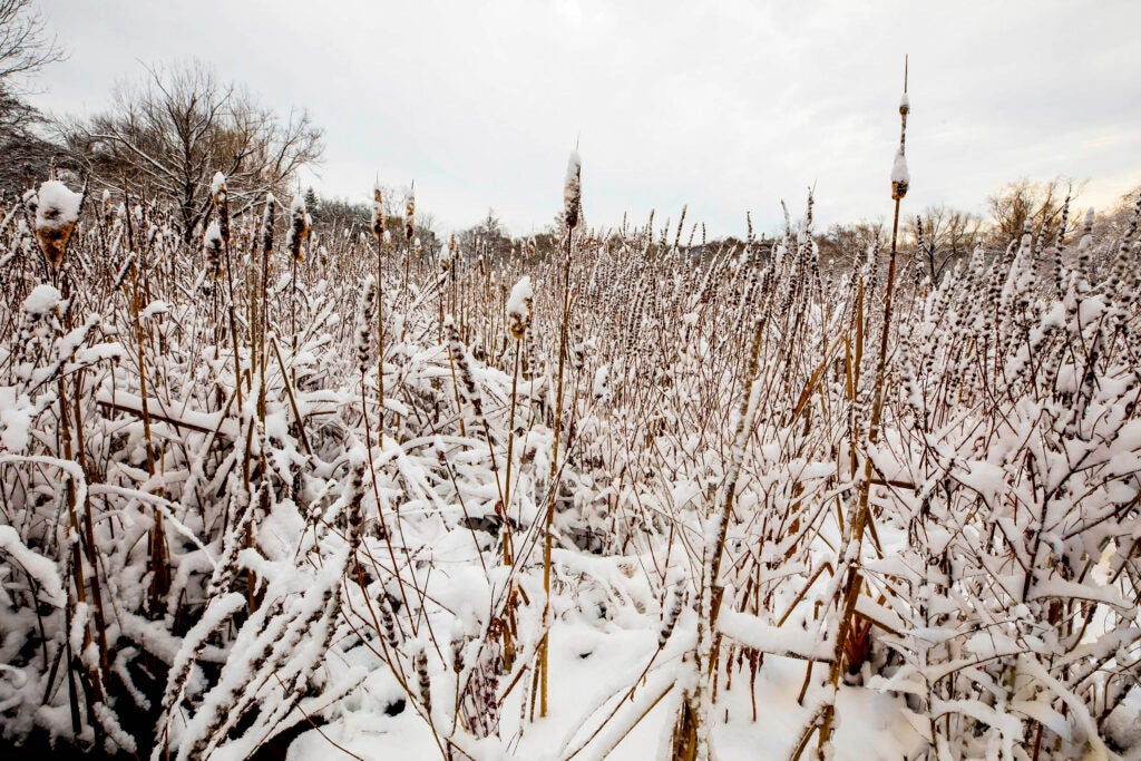 Snow falls on a field of reeds by the Arborway Gate.