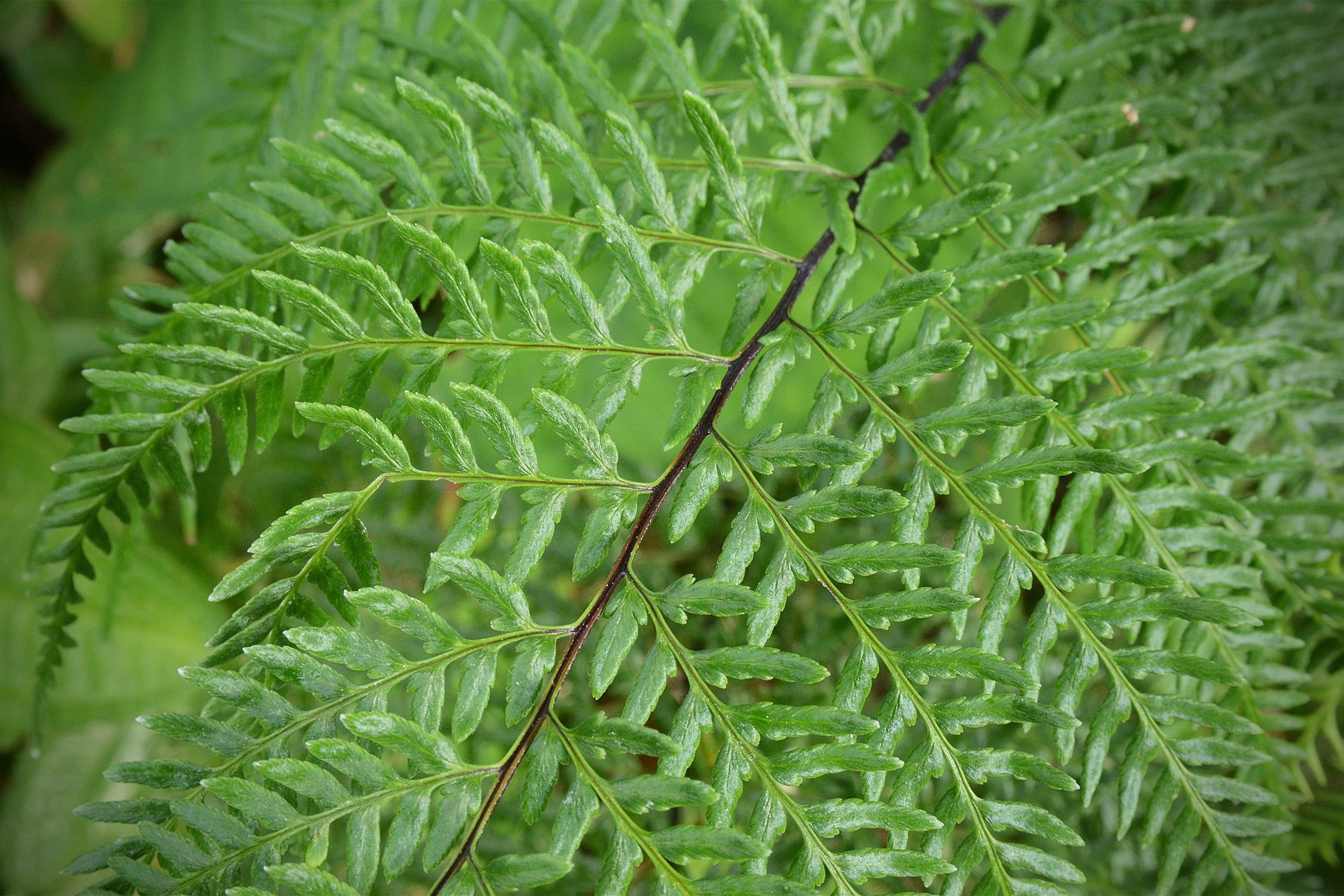 Closeup of a fern.