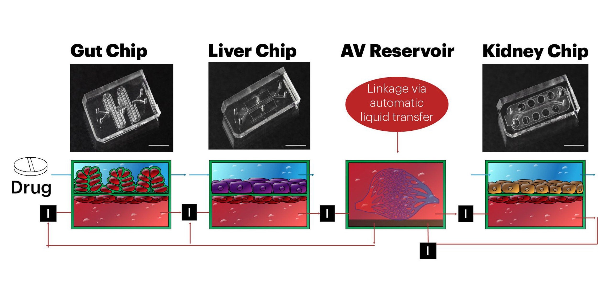 Graphic of organs on a chip.