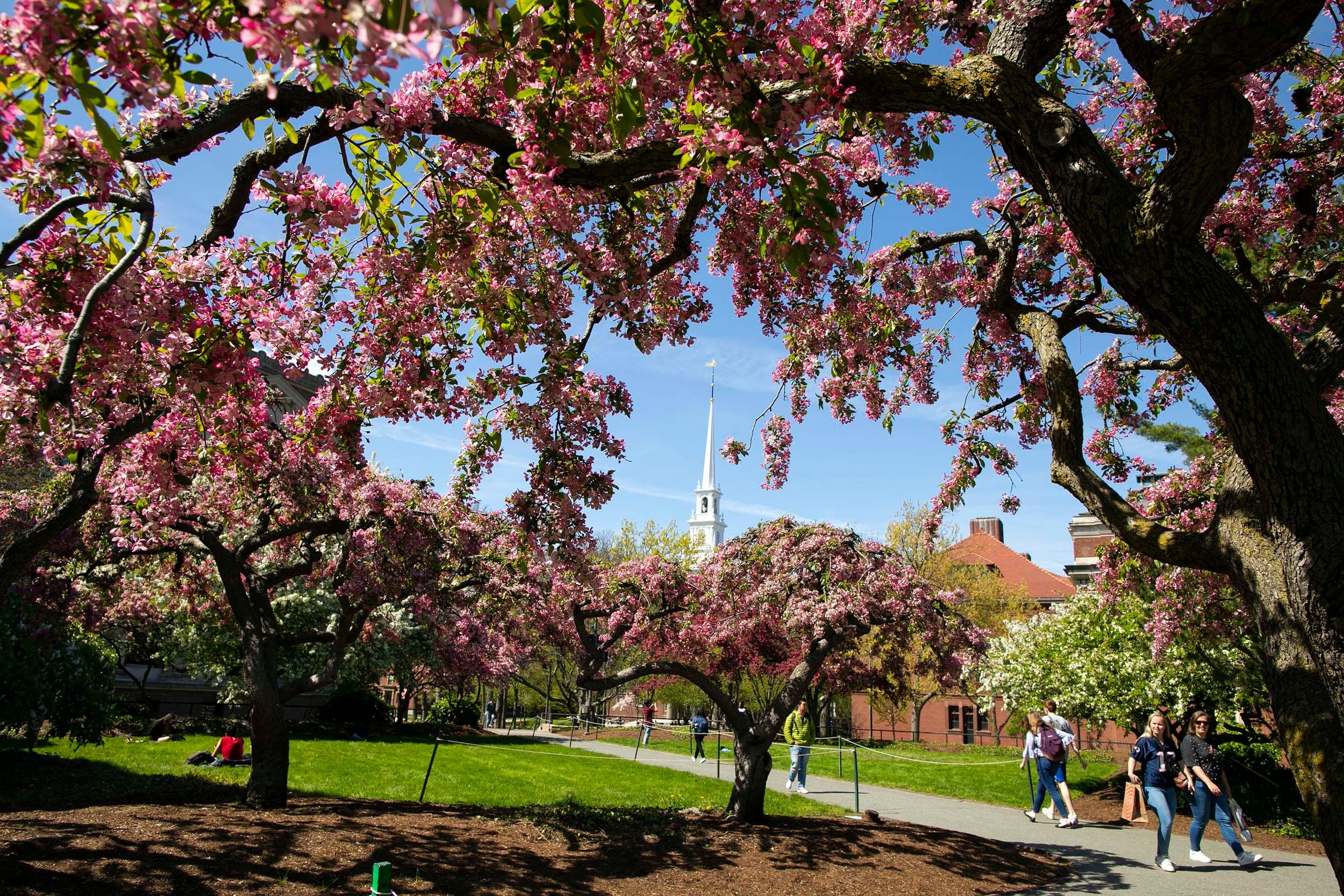 The spring tree blossoms frame Memorial Church.