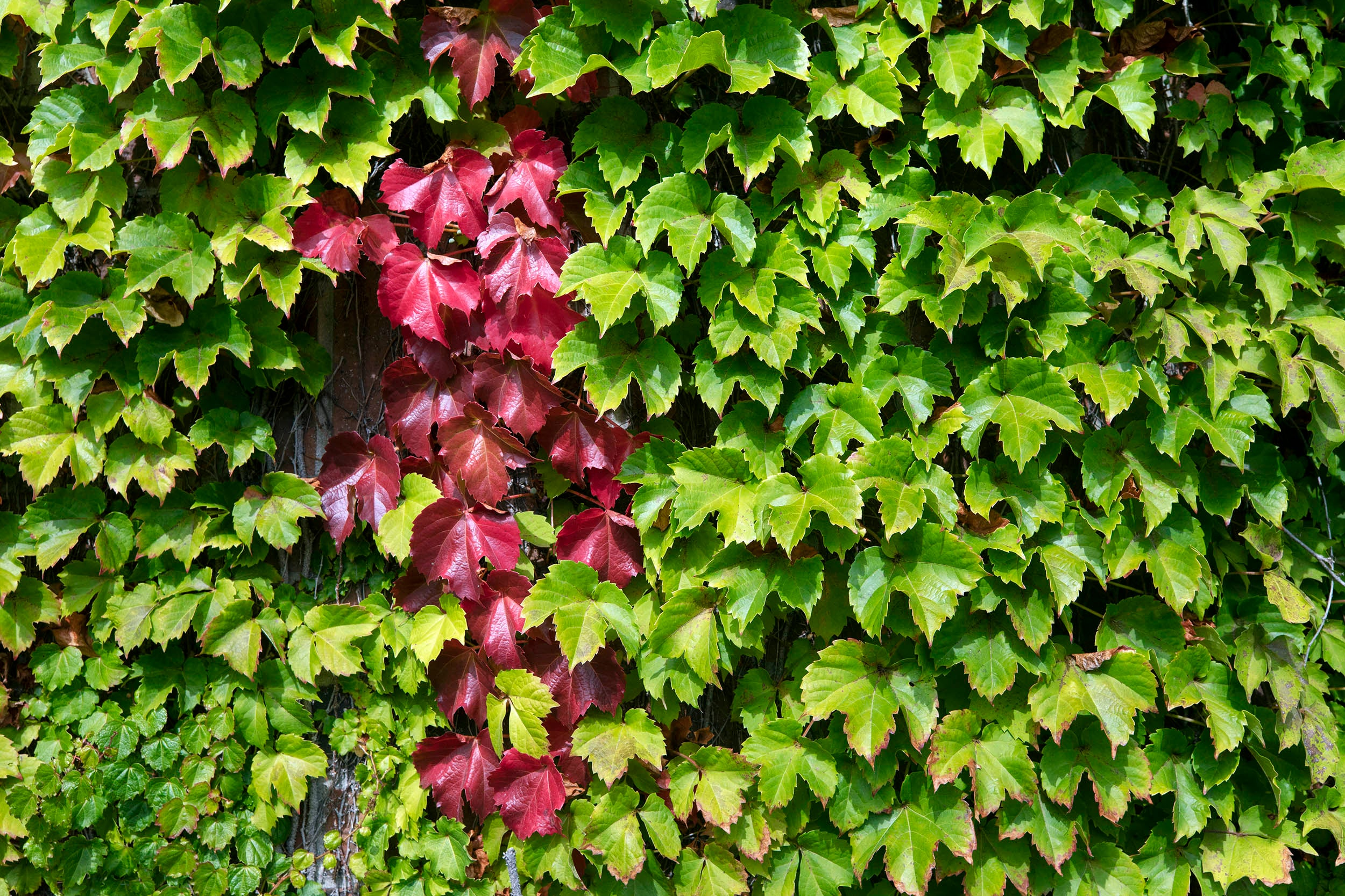 Ivy covers the wall of the Murr Center.